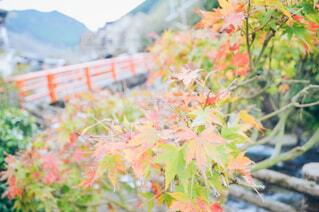 秋,屋外,葉,樹木,カエデ
