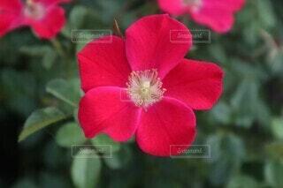 自然,花,赤,綺麗,映え