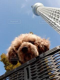 犬,空,動物,屋外,トイプー わんこ スカイツリー ママチャリ夫婦 後ろかご