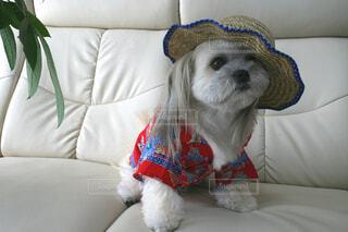 犬,動物,屋内,白,ペット,座る,ソファ,枕,子犬,テリア,犬種,スポーツグループ,おもちゃの犬