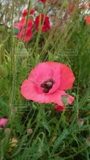 花,屋外,赤,草,草木,ポピー ピンク 花 グリーン 自然 草花