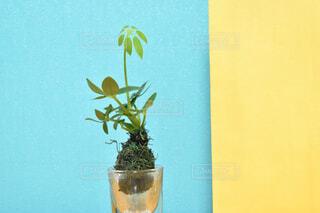 花,花瓶,黄色,植木鉢,ミニ,観葉植物,草木,バイカラー,ポップ,カポック,ミニ苔玉