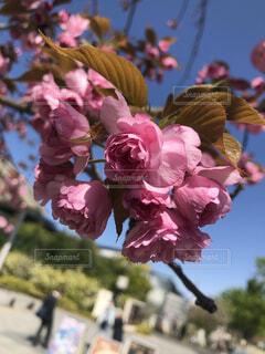 花,春,ピンク,バラ,薔薇,草木,ブルーム,ブロッサム