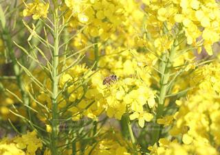 花,動物,黄色,菜の花,蜂,昆虫,ミツバチ,草木,擬態