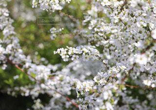 花,屋外,樹木,草木,ユキヤナギ,ブロッサム