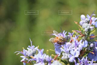 花,動物,蜂,昆虫,蝶,ミツバチ,ローズマリー,草木,花粉媒介