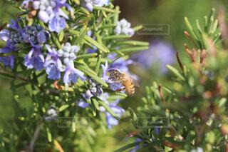 花,動物,蜂,昆虫,蝶,ミツバチ,ローズマリー,草木,ガーデン,フローラ