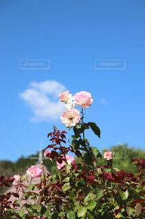 空,花,花束,青い空,バラ,薔薇,草木