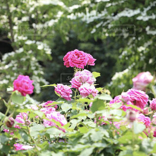 自然,花,屋外,ピンク,バラ,薔薇,樹木,草木,ローズガーデン,ブロッサム