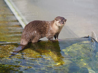 動物,かわいい,水族館,水面,小動物,動物園,カワウソ,哺乳類,キュート