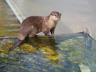 動物,屋外,かわいい,水,水族館,水面,泳ぐ,小動物,動物園,カワウソ,キュート
