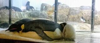 動物,親子,黒,ペンギン,赤ちゃん,生まれたて,海獣