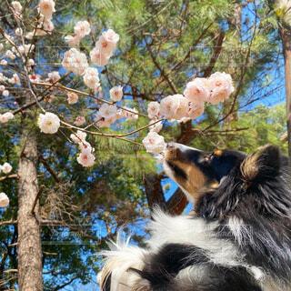 犬,花,桜,動物,屋外,樹木,シェルティ,シェットランドシープドッグ,ブロッサム