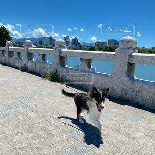 犬,空,橋,動物,かわいい,青空,晴天,池,子犬,dog,シェルティ,blue,シェットランドシープドッグ,bridge