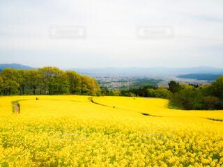 自然,風景,空,花,屋外,黄色,菜の花,景色,樹木,草木,菜種