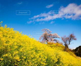 自然,風景,空,花,桜,屋外,菜の花,丘,樹木,草木