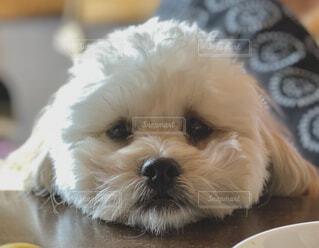 犬,動物,屋内,白,かわいい,プードル,シーズー,愛犬,ミックス