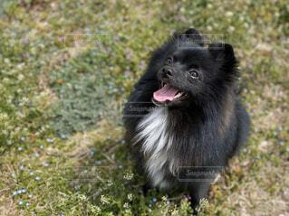 犬,春,動物,ポメラニアン,屋外,白,黒,愛犬,もこもこ