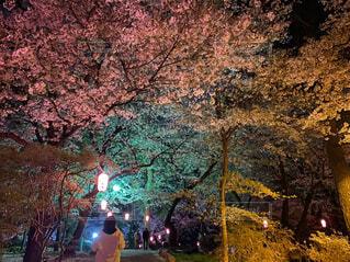 自然,公園,花,春,桜,夜,屋外,夜桜,樹木,提灯,ライトアップ,人