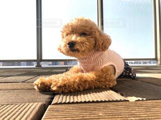 犬,動物,屋内,窓,トイプードル,テディベア