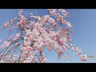 空,花,春,屋外,きれい,綺麗,青空,青い空,草木,桜の花,さくら,キレイ,ブロッサム