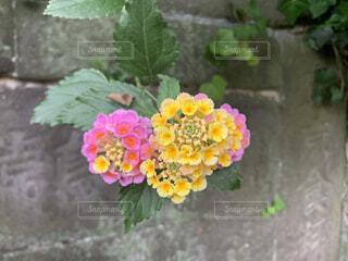 自然,花,屋外,植物,癒し,草木,ランタナ,ガーデン,フローラ