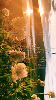 自然,空,花,夕日,緑,綺麗,シロツメクサ,素敵
