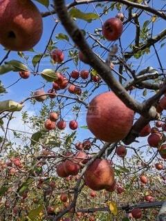 食べ物,屋外,果物,樹木,林檎,リンゴ,果樹