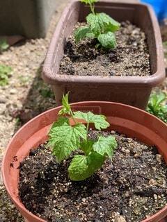 植木鉢,地面,観葉植物,ゴーヤ,草木,ポット,ガーデン