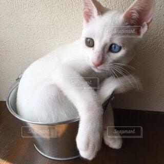 猫,子猫,白猫,保護猫,白猫オッドアイ