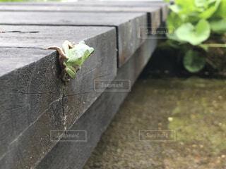 こらえるカエルの写真・画像素材[4483206]