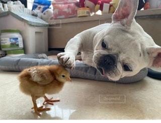 犬,動物,屋内,かわいい,ひよ子,なでなで