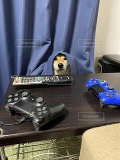 犬,屋内,柴犬,かくれんぼ,隠れてるつもり,いたずらした後