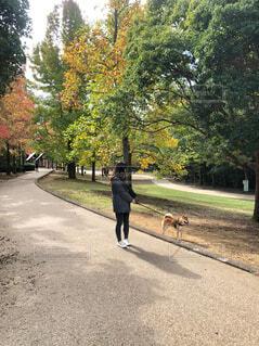 犬,公園,秋,動物,屋外,道路,樹木,ピクニック,柴犬,地面,お散歩,通り