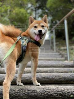 犬,動物,屋外,階段,散歩,茶色,樹木,柴犬,地面,お散歩,お散歩大好き