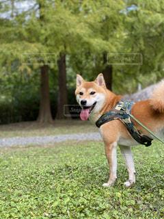 犬,公園,動物,屋外,草,樹木,柴犬,見返り美人,呼んだ?,お散歩大好き