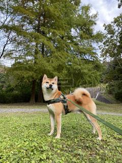 犬,公園,動物,屋外,草,樹木,柴犬,仰げば尊し