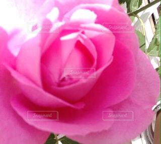 花,ピンク,バラ,薔薇,草木