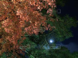 秋,紅葉,屋外,葉,樹木,満月,カエデ