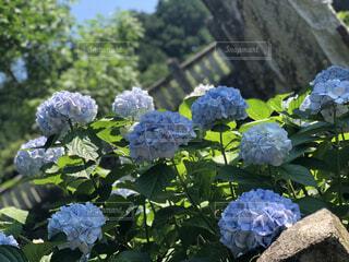 花,屋外,樹木,紫陽花,岩,草木,ガーデン,フローラ