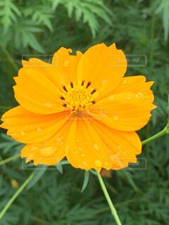 花,草木,雨水,カレンデュラ,フローラ,草本植物
