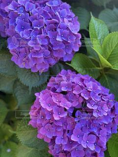 花,雨,あじさい,紫,紫陽花,梅雨,草木