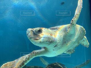 海,動物,魚,水族館,水面,葉,カメ,ウミガメ,爬虫類,亀,海洋生物学,ケンプヒメウミガメ
