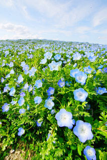 花,屋外,草原,景色,新緑,ネモフィラ,高原,草木,眺め,日中,ガーデン