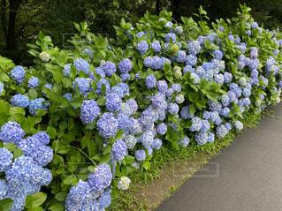 花,春,屋外,あじさい,紫陽花,草木,アジサイ,ガーデン,ブルーム,フローラ