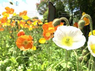花,屋外,綺麗,樹木,ポピー,カラー,お気に入り,素敵,草木
