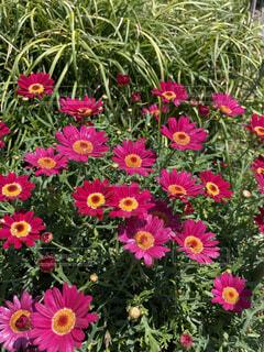花占いがしたくなってくる花の写真・画像素材[4480690]