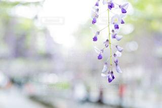 自然,花,お花,藤の花,草木