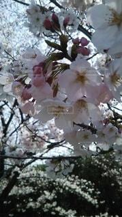 花,樹木,桜の花