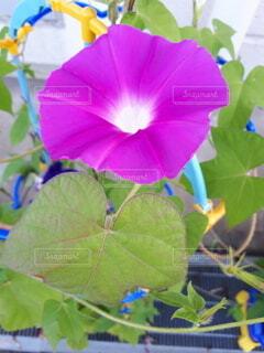 花,夏,紫,夏休み,朝顔,草木